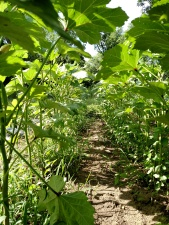 Inside the okra forest