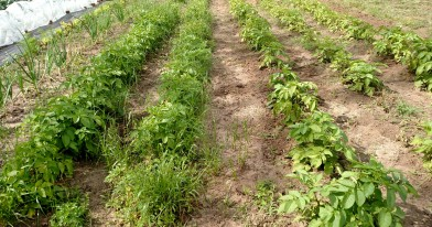 Unweeded and weeded potatoes