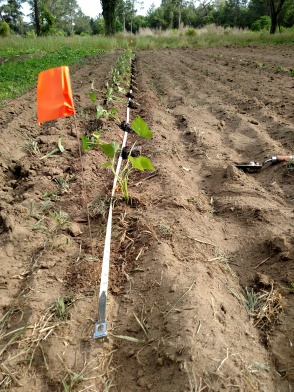 Sweet potato row
