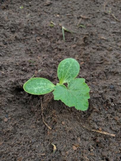 Baby squash plant
