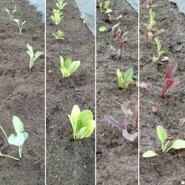 Seedling rows after planting