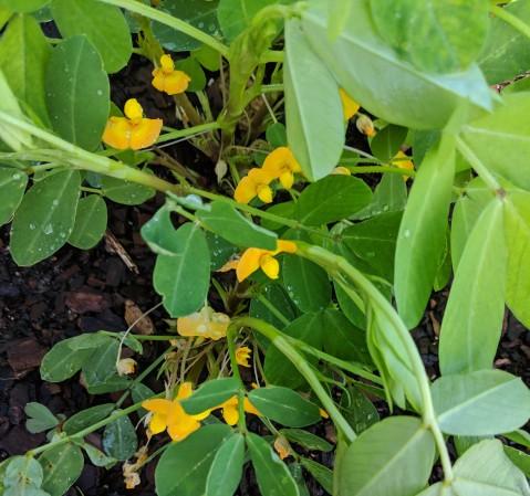 Peanut flowers